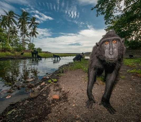 macaco nero